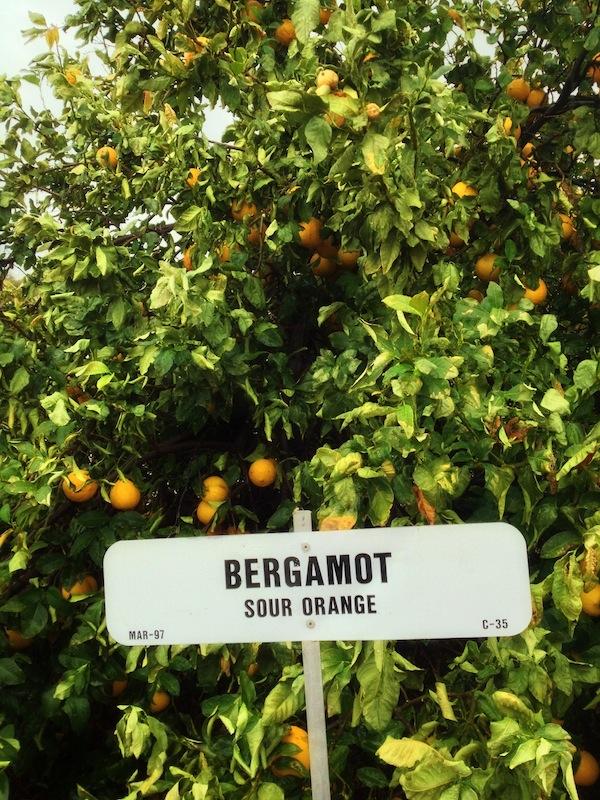 bergamot_tree