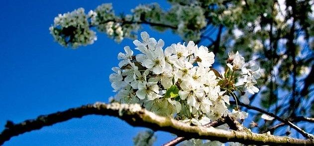 blossom_blue_sky